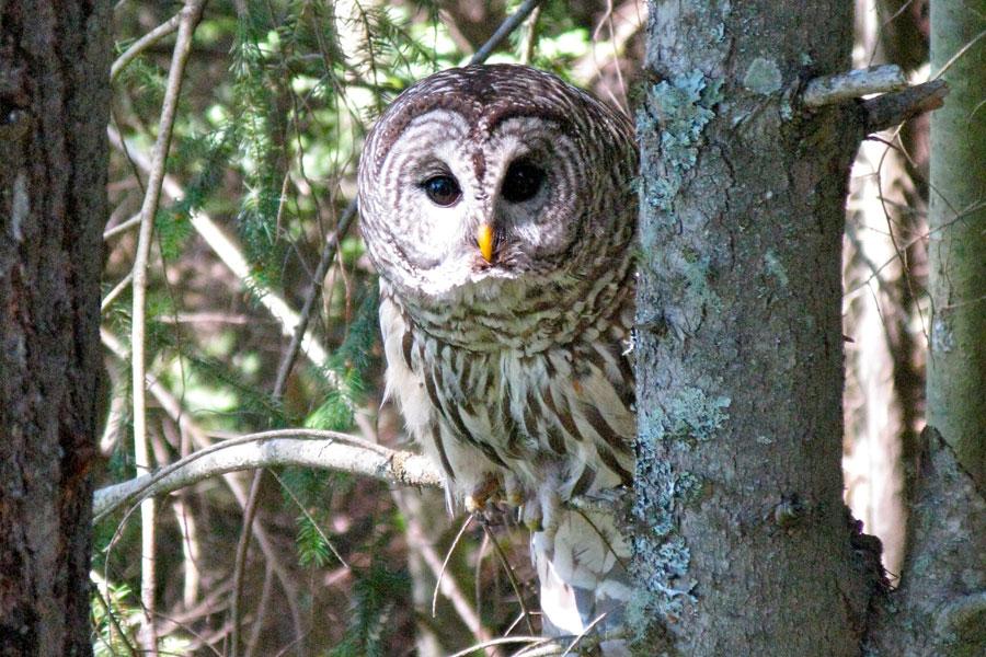 33 barred-owl.jpg