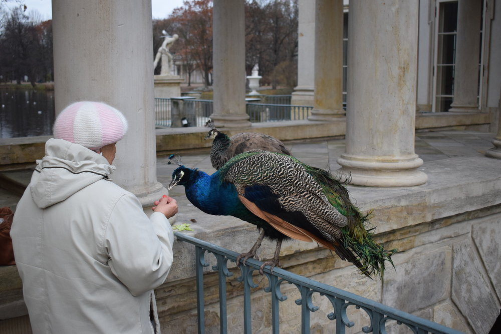 Lazienki-Palace-Peacocks-Warsaw