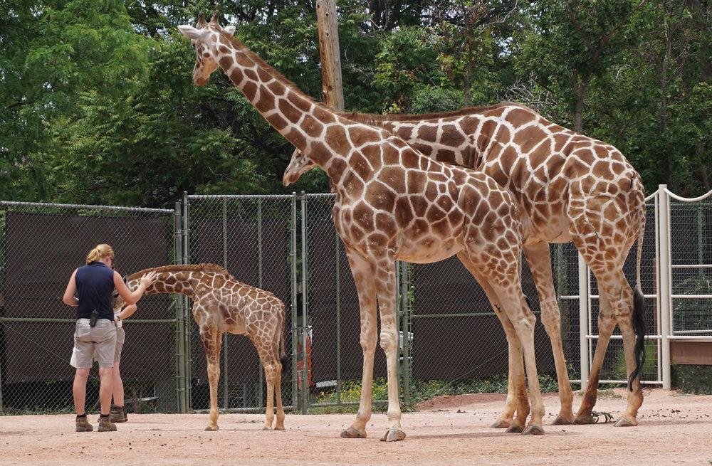Giraffes at Denver Zoo. Image credit:  Owen Allen / Creative Commons