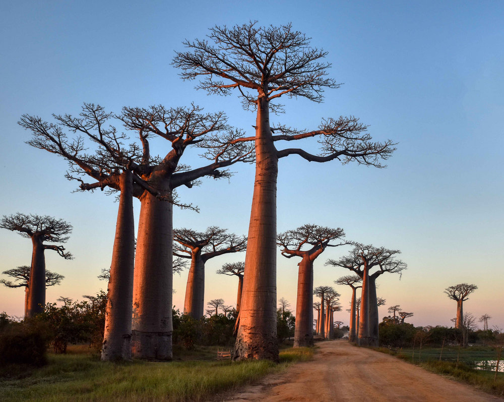 These awe-inspiring baobab trees are reason enough to visit Madagascar. Image credit:    Rod Waddington   /   Creative Commons