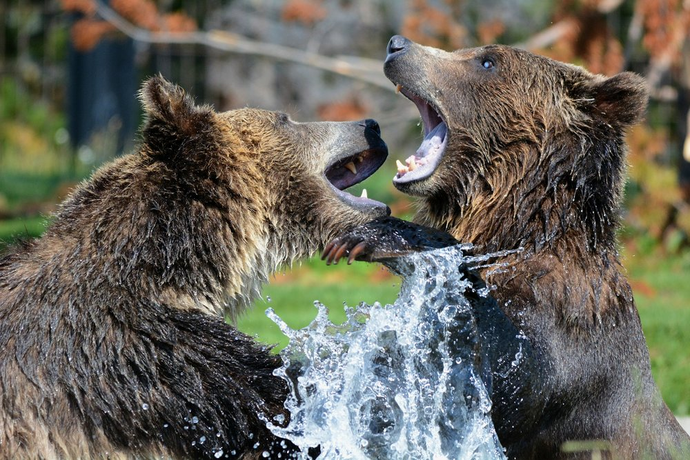 grizzly-210996_1920.jpg