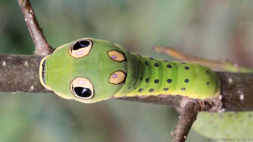 False Snake Eyes