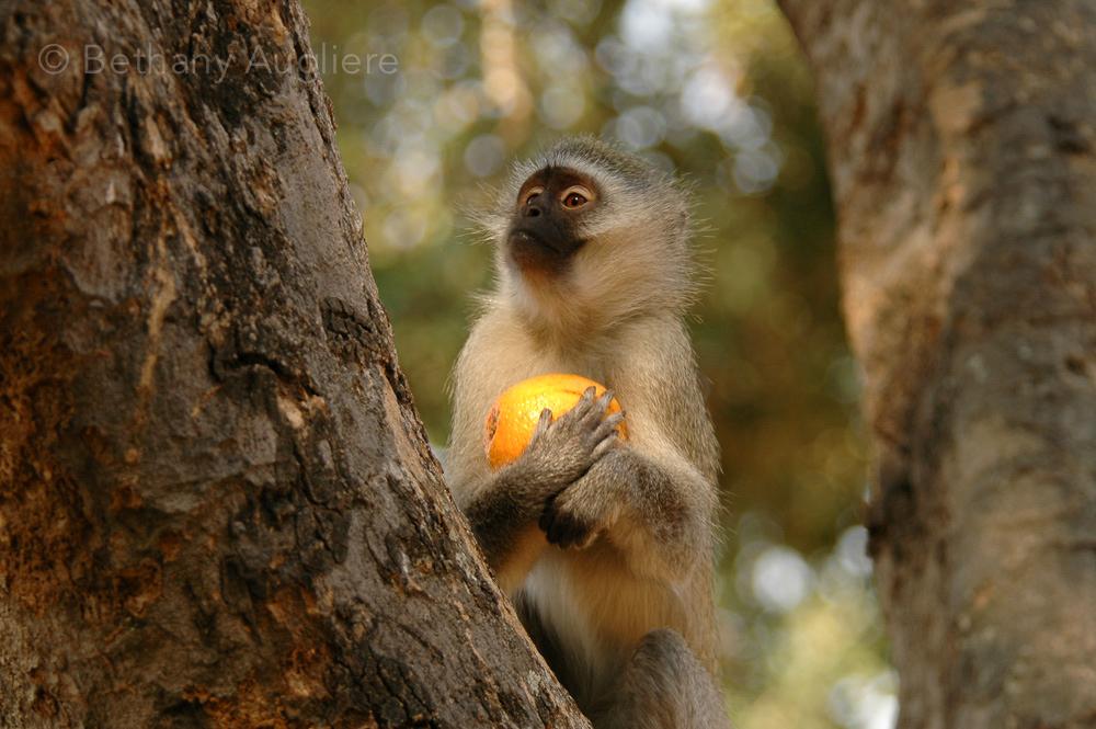 Veret Monkey