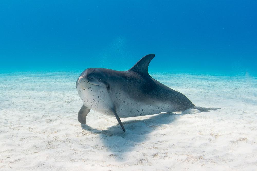 AtlanticSpottedDolphin