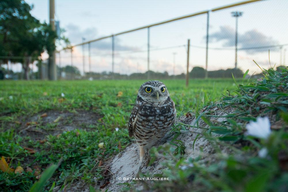 OtherSpecies_BurrowingOwl_BethanyAugliere.jpg