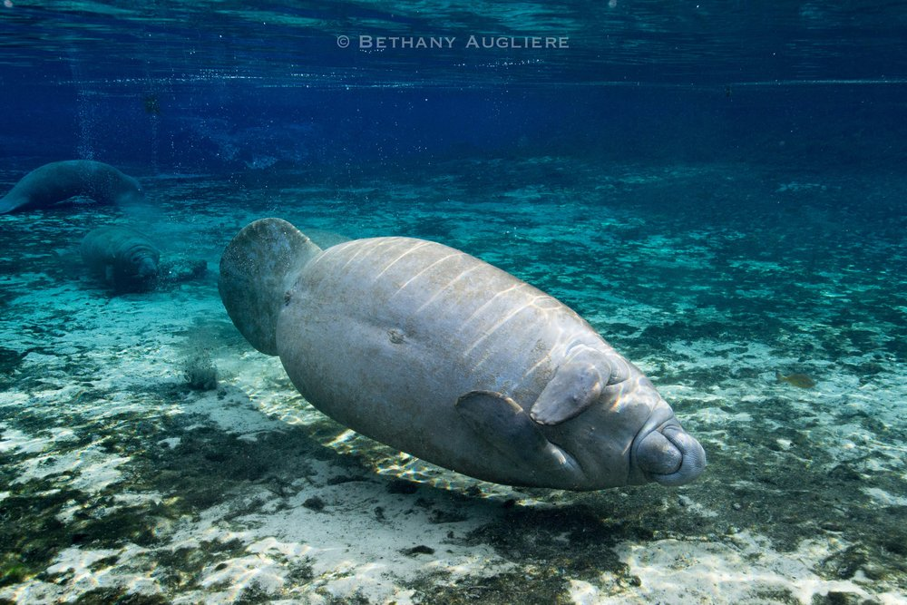 Manatee_belly.jpg
