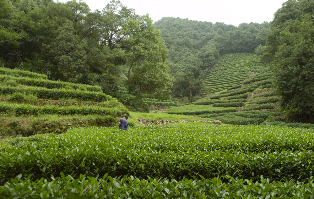 Tea fields and forests surround the resort. Photography from Amanresorts.