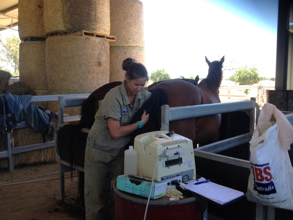 All in a day's work...vet Vanessa Slack-Smith with one of the 15 mares she scanned at St Fort yesterday