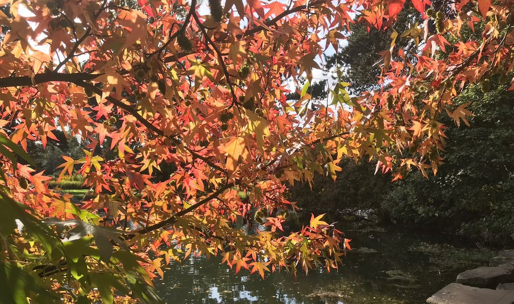 Liquidamber at Cambridge Botanic Gardens this Autumn