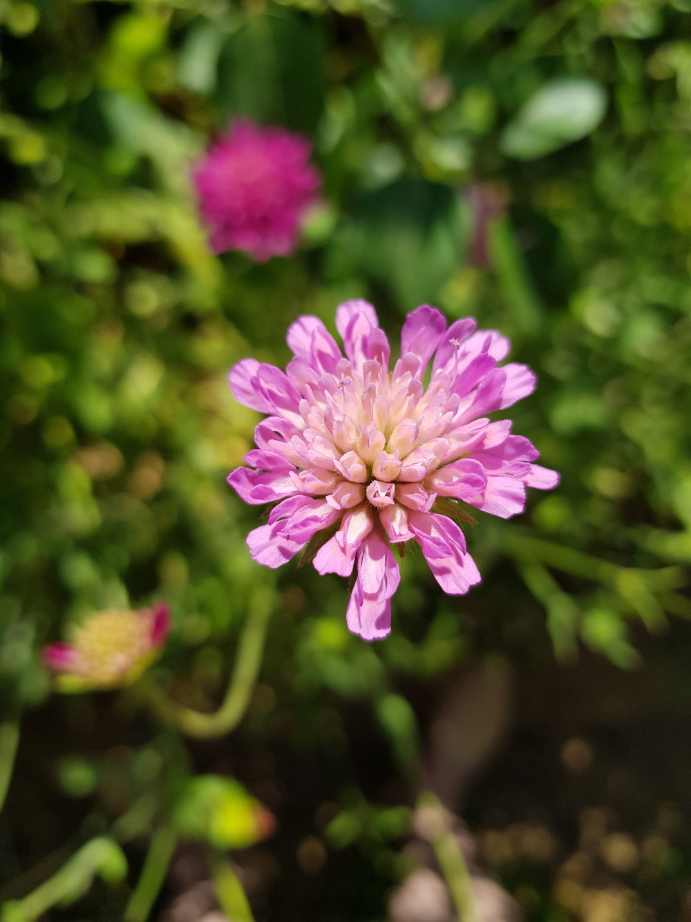 Knautia is perfect for Cambridgeshire's dry conditions