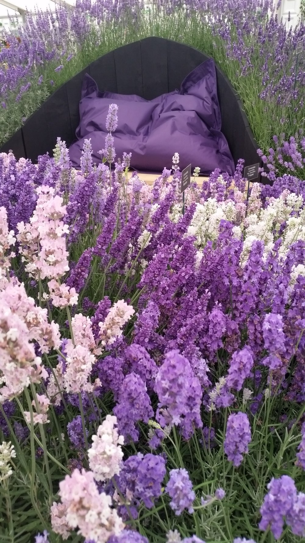 Lavender can tolerate our alkaline soil