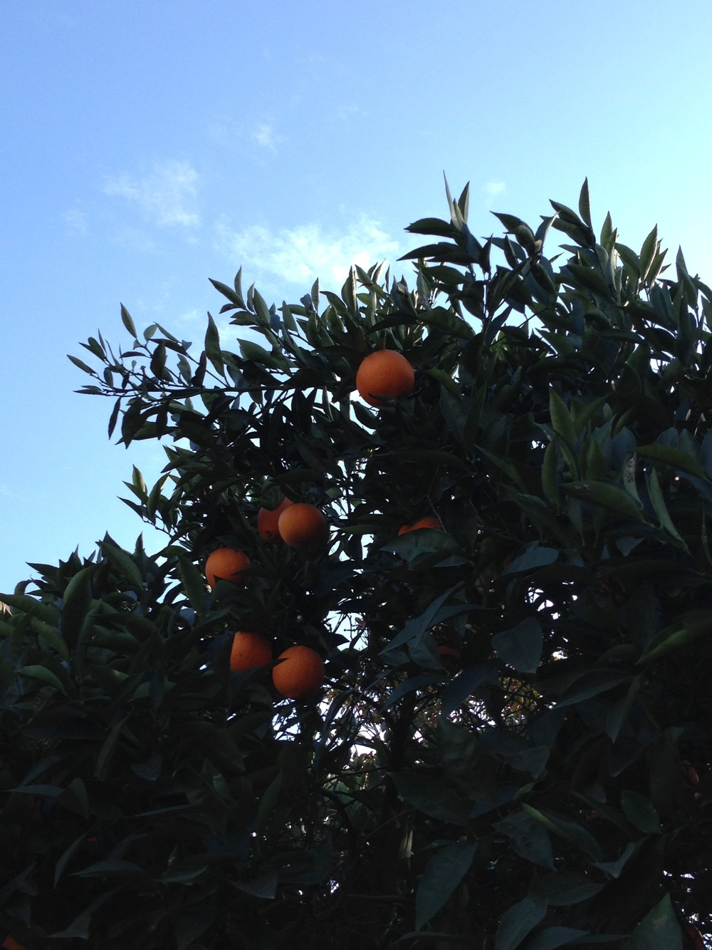 The. Best. Oranges. I. Ever. Tasted. And in Fran's Backyard!