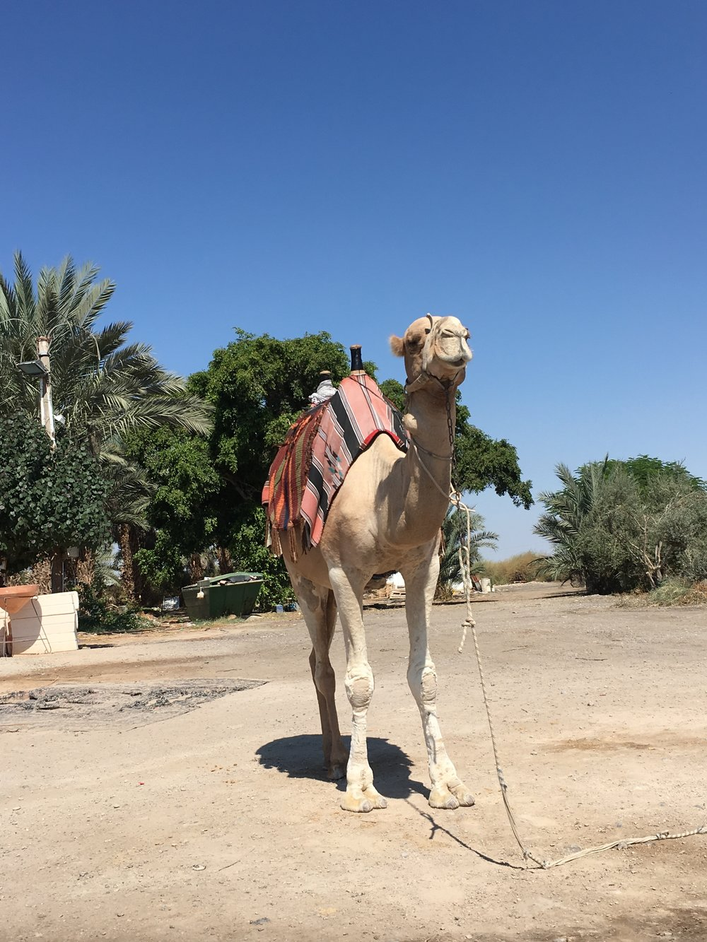 The Camel we stopped to admire in the West Bank