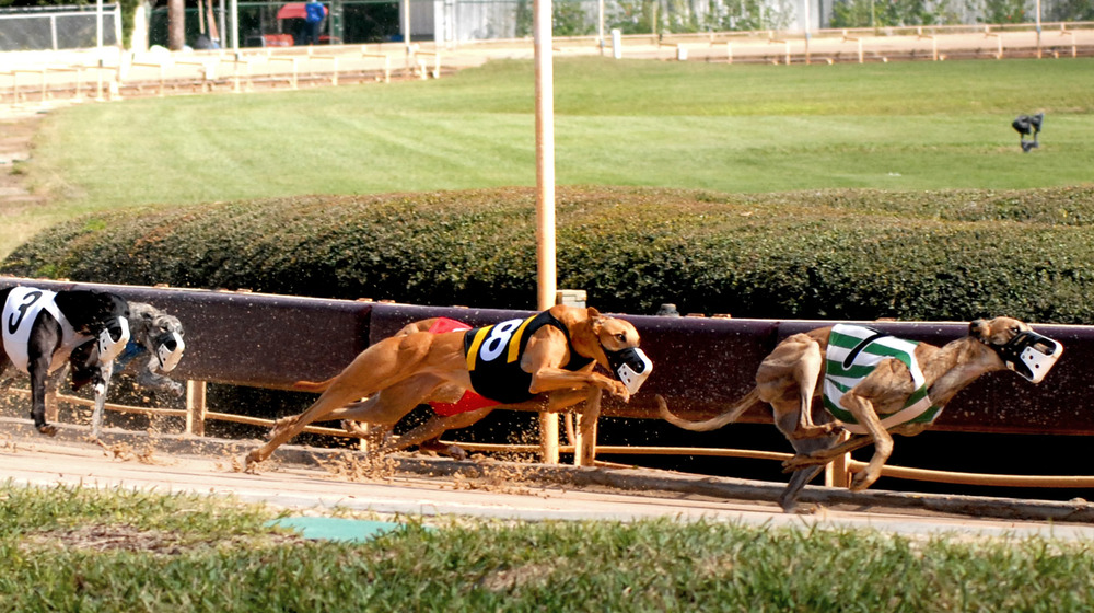 Greyhounds hit the home stretch at Derby Lane in St. Petersburg, Fla.