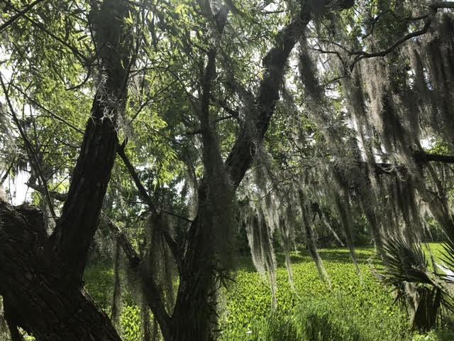bayou spanish moss 2.jpg