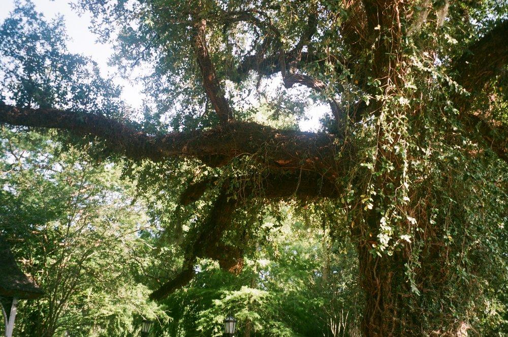 Evangeline Tree