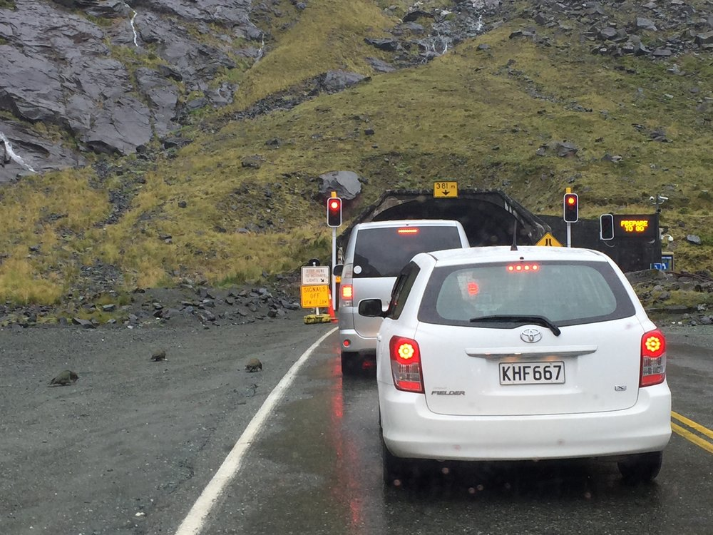 Kea begging outside the entrance to the Homer Tunnel