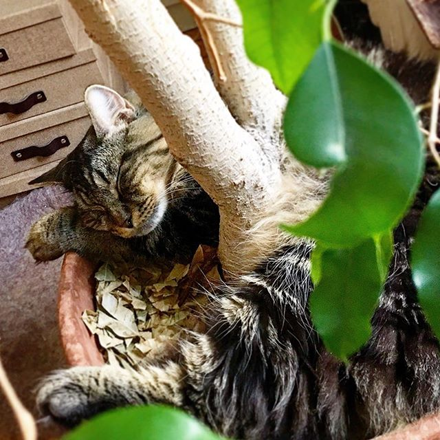 the old wrap around the tree nap. #caterday