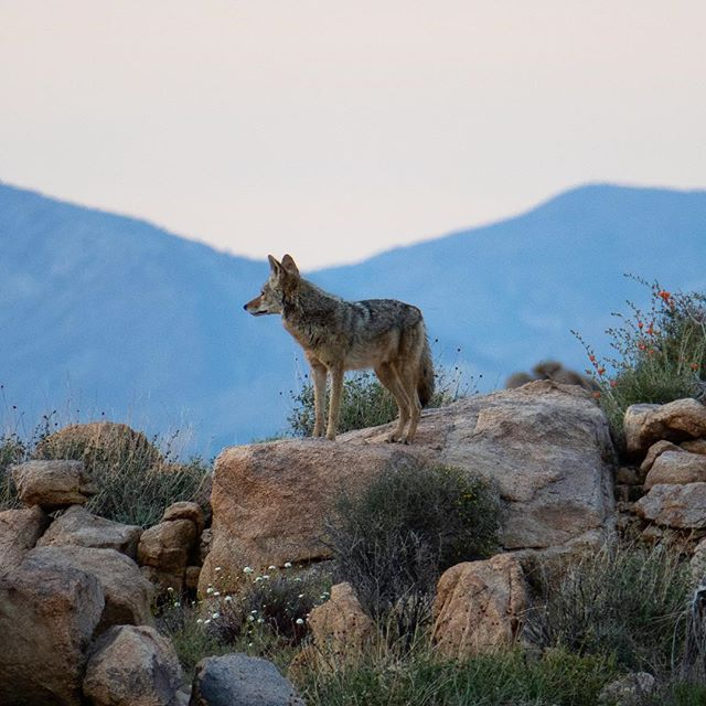 coyote in Joshua Tree