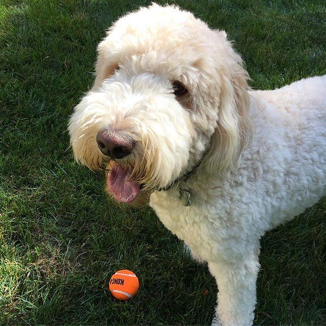 HEMI! #bestdogever #goldendoodle #dogsofinstagram