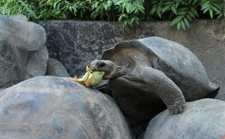 Volunteer Galapagos Turtle Center