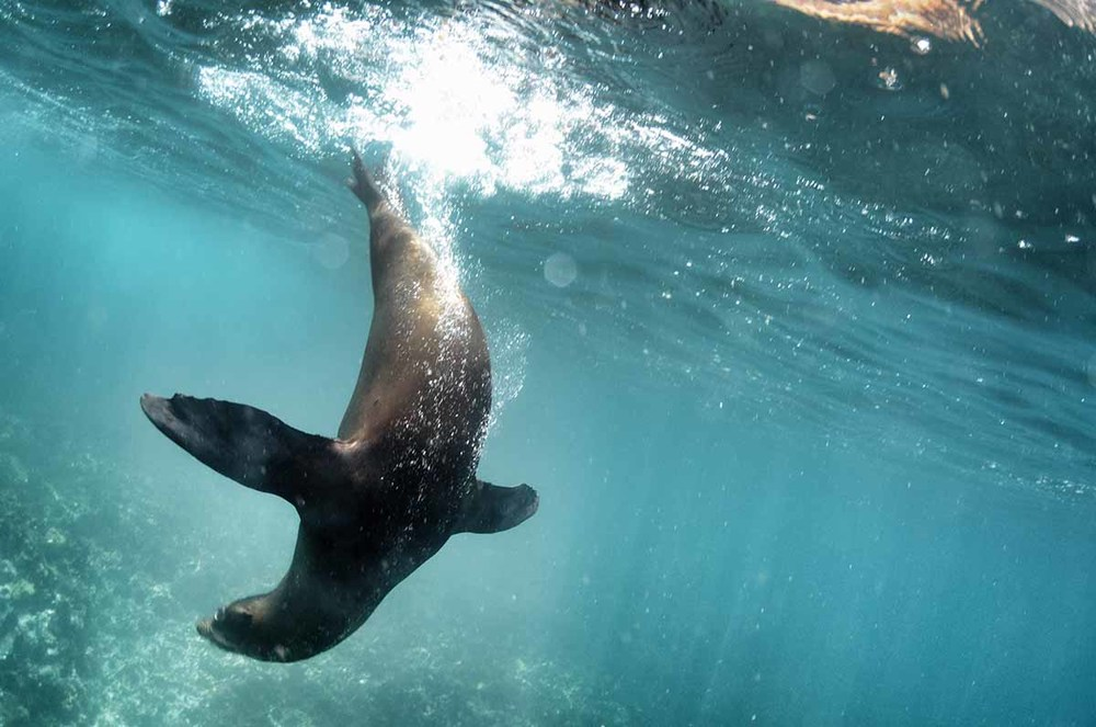 Seal playing in Galapagos
