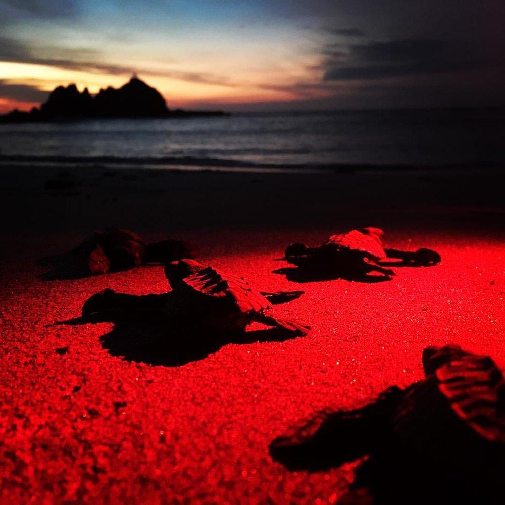 Baby Sea Turtles Costa Rica