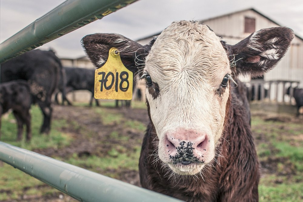 Cows, like this cute little guy, produce methane in huge quantities daily