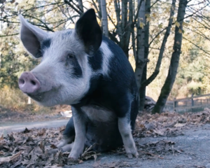 Crowley the pig at the Natural Vegan permaculture farm. Photo Credit: Natural Vegan