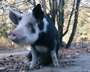 Crowley the pig at the Natural Vegan permaculture farm. Photo Credit: Natural Vegan