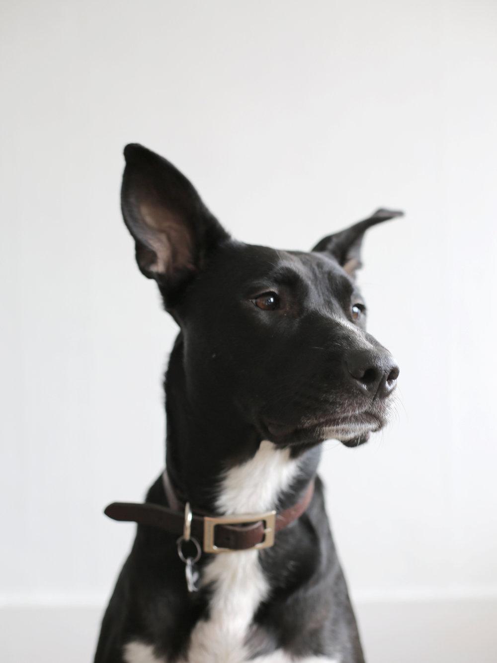 Beautiful-dog-portrait-Apse-Adorn
