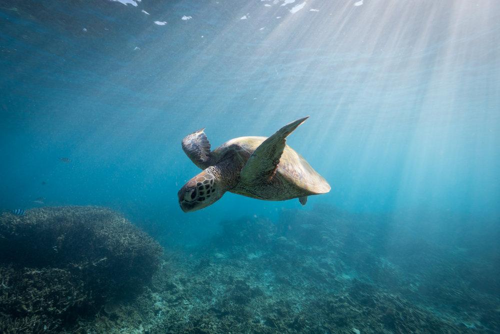 Green Sea turtle, Great Barrier Reef, June 2017.