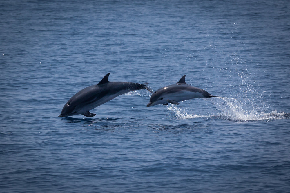 We saw many striped dolphins the day before.