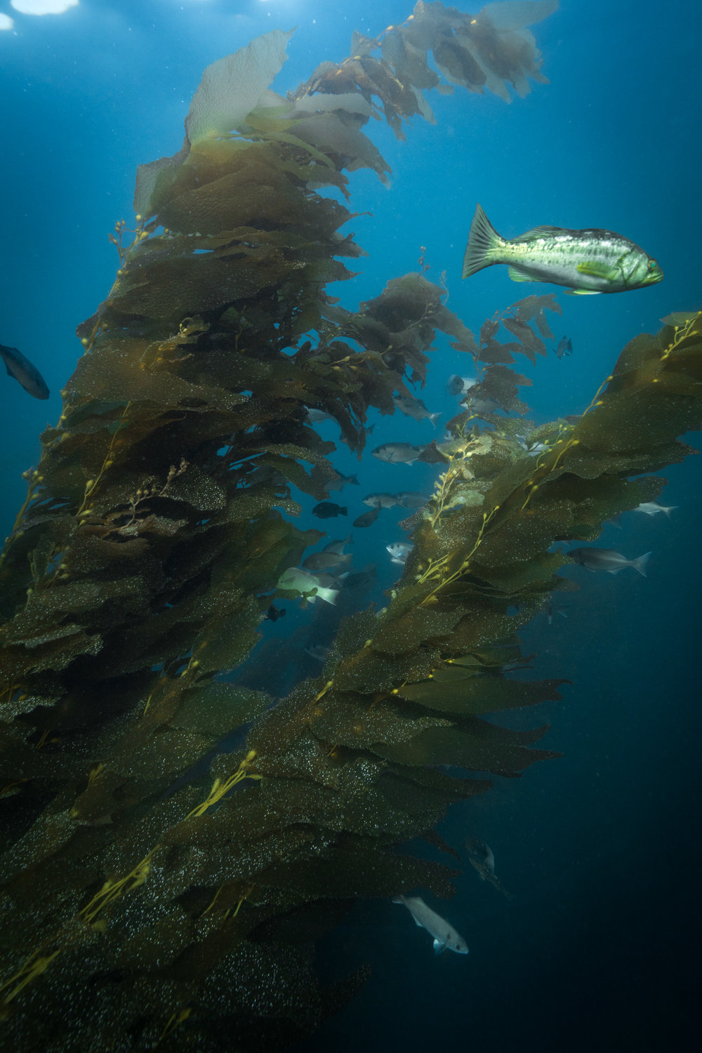 We would later return to California to film the underwater perspective of the kelp forest.