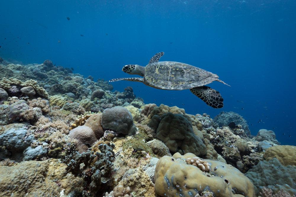 A green sea turtle cruising over a coral garden in Palau.