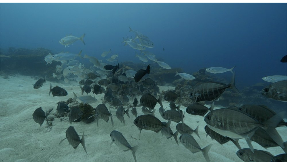 A screen shot of the school of trevally.