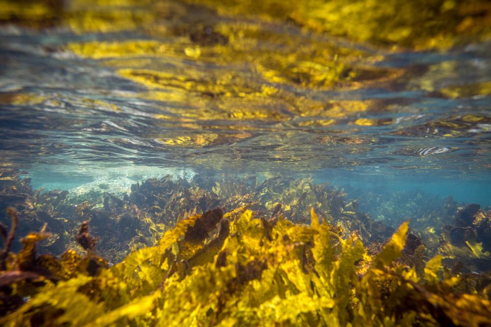 Kelp touching water surface @ James Sherwood - Bluebottle Films.jpg