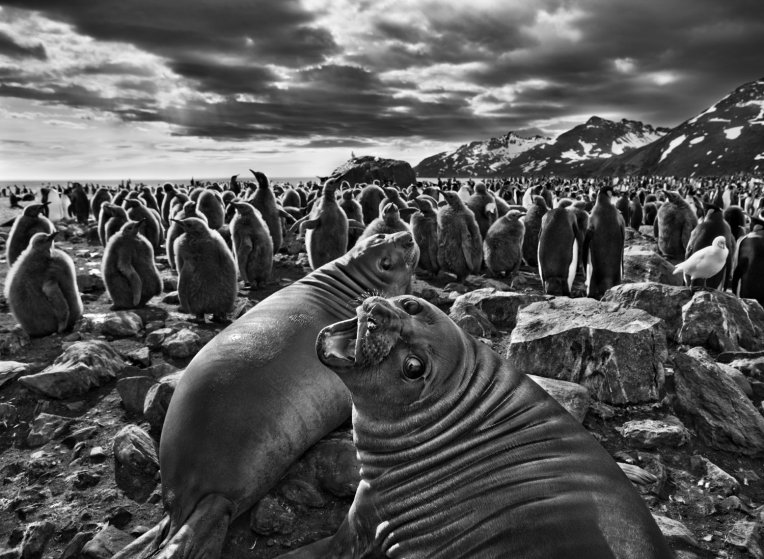 Seals & Penguis by Sebastiᾶo Salgado Description: I love the juxtaposition of the individual and the community. The lovely seal in the foreground, and the group or mob in the background.