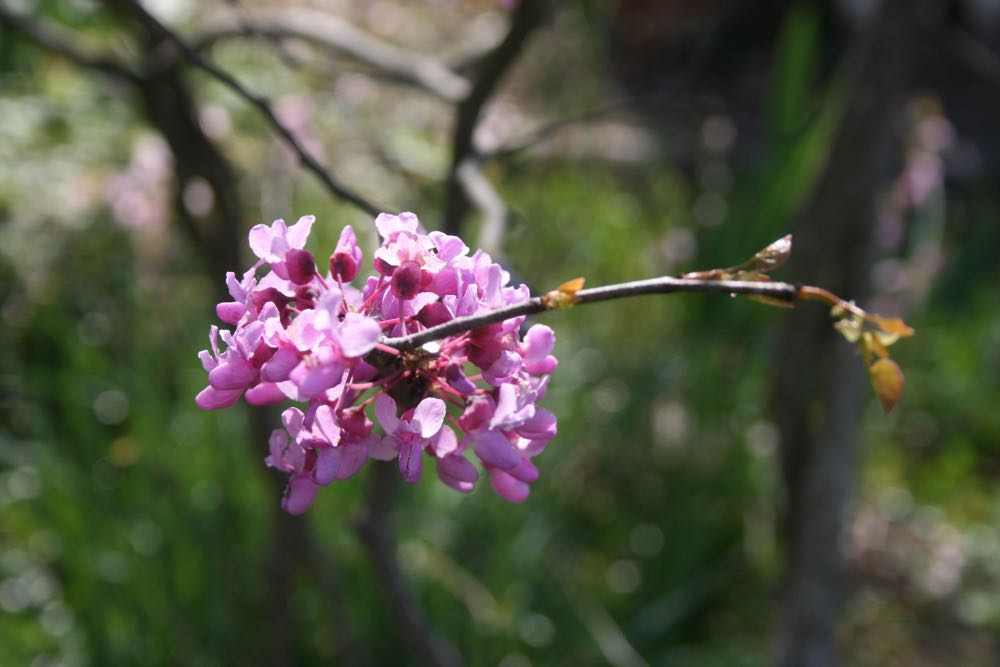 Eastern redbud tree flowers are edible and make a lovely garden garnish.