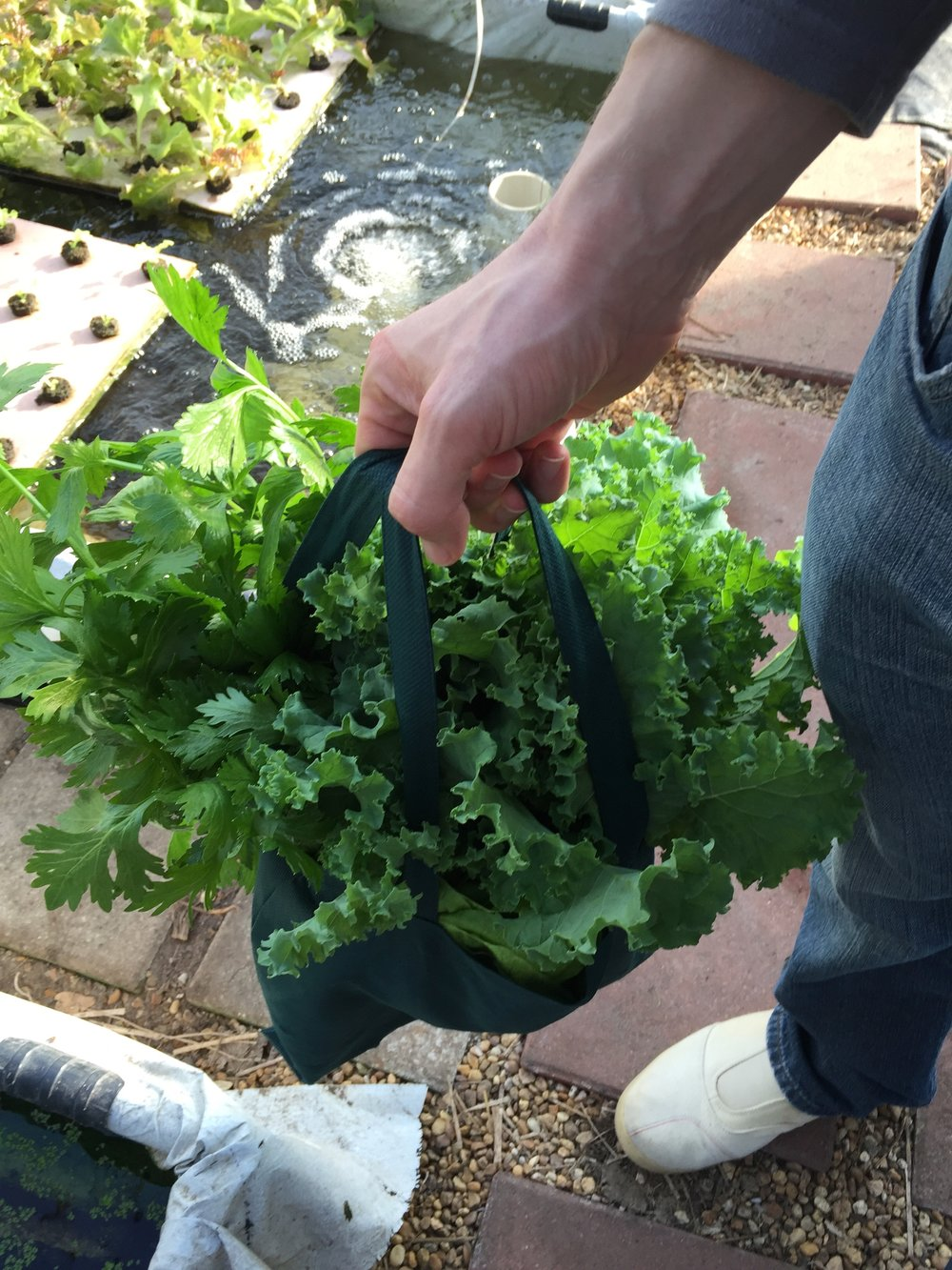 Our delicious goody bag we took home with us. It was packed full of Kale, Bok Choy and Celery!