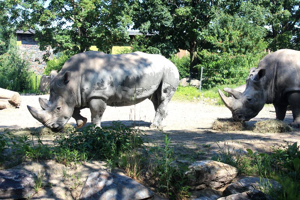 zoo de grandby rhinos 2.jpg
