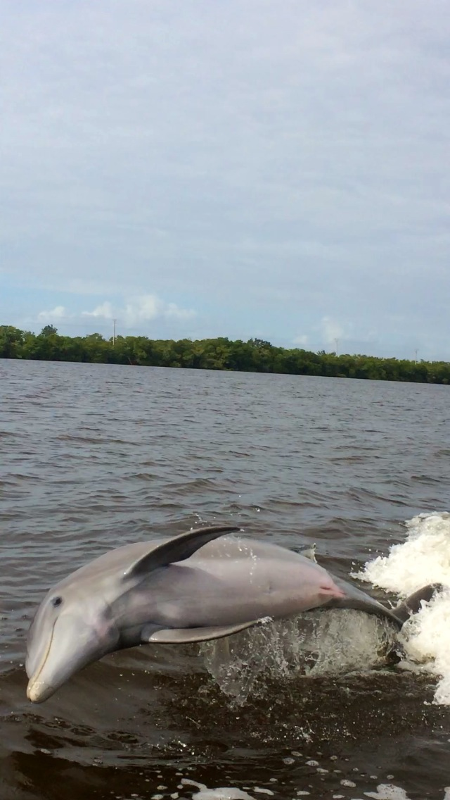 Dolphins-eco-Nature-Tour-Naples-Florida-Estero-Bonita Springs-Private Charter