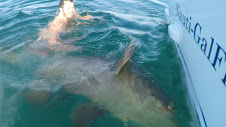 Goliath Grouper-Naples-Fishing Charter-Charter Fishing-Nearshore-Bonita Springs-Deep Sea