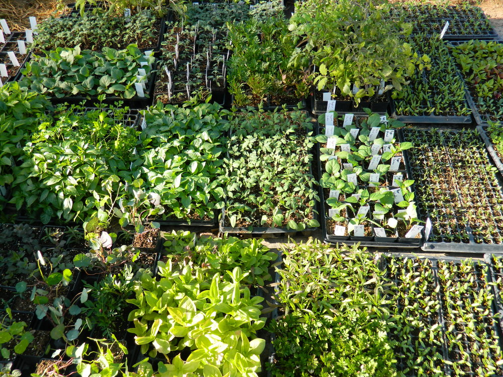 Seedlings nearing their time of planting.