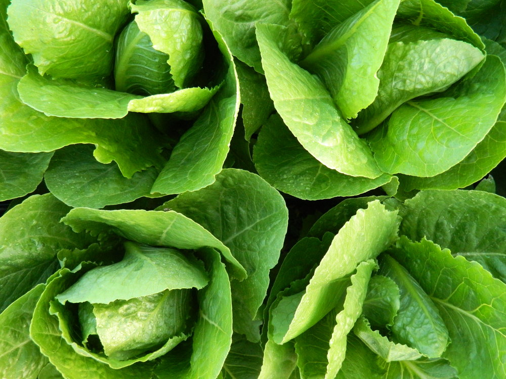 LETTUCES - Romaine, Leaf, Salad & Spicy Mixes, Mustard
