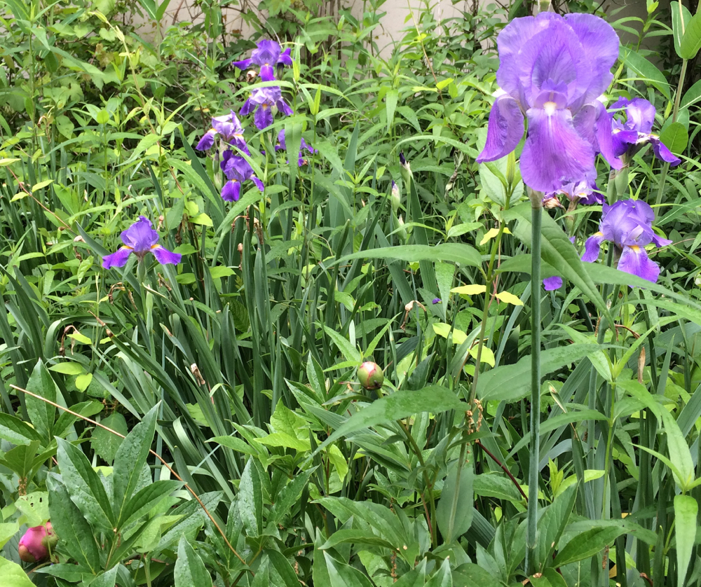Purple iris from our southern Illinois home are the first to bloom in my cottage garden.