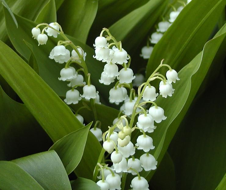 Lilies of the valley are tiny but mighty when it comes to having a lovely scent.