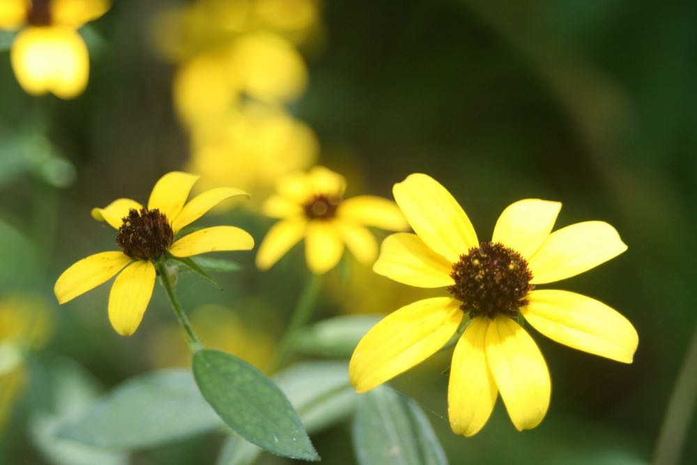 Native Black eye susans are long-lasting cut flowers and are one of my favorite summer flowers.