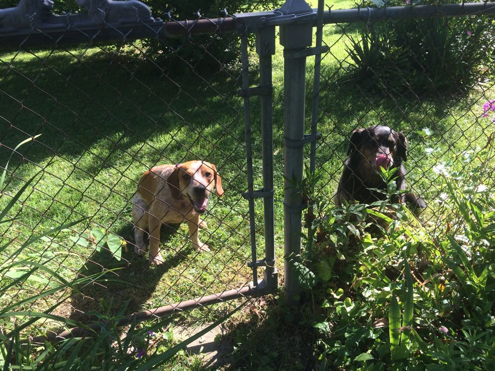 Penny, left, and Maggie, right, welcoming me to their new Rolla playground.