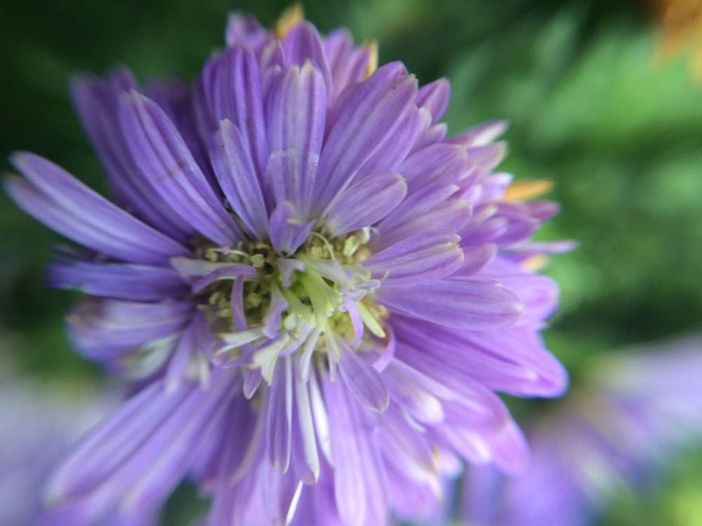 Close-up of a purple aster in bloom at Bluebird Gardens.